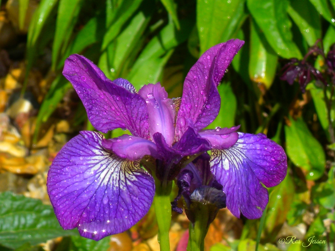 iris purple rain sun signed (2).jpg